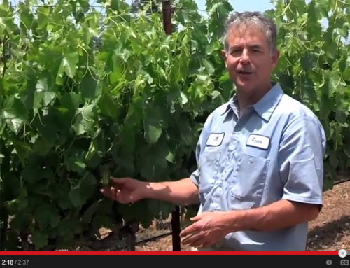 Explainer Video – Bloom and Set in Mathis Vineyard